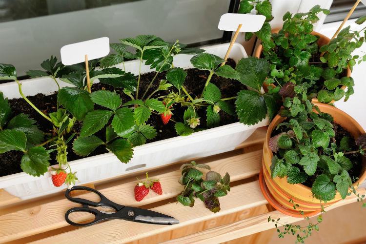 tipps obst und gem se auf dem balkon anzubauen wohnungs. Black Bedroom Furniture Sets. Home Design Ideas