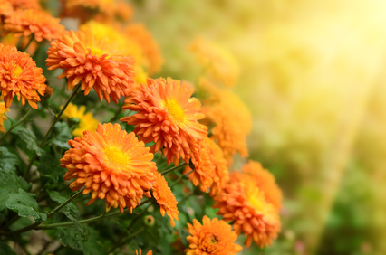 Chrysanthemen können die eigenen vier Wände bereichern