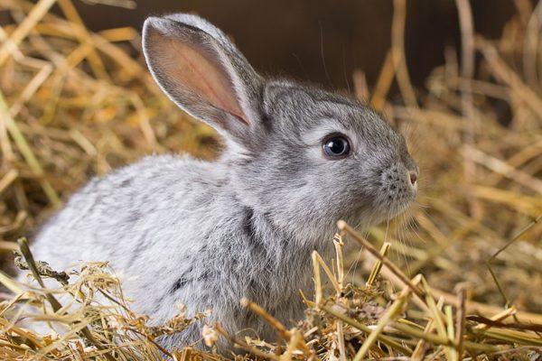 Graues Kaninchen sitzt im Stroh