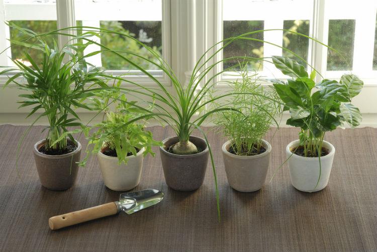 Die Howea oder Kentia Palme kann sehr sehr groß werden
