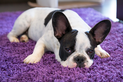 Hund auf Teppich