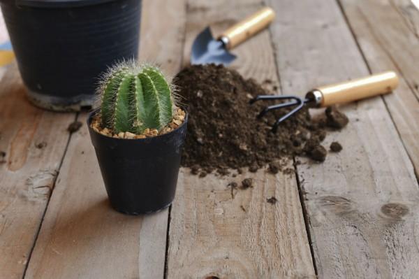 Frisch eingepflanzter Kaktus