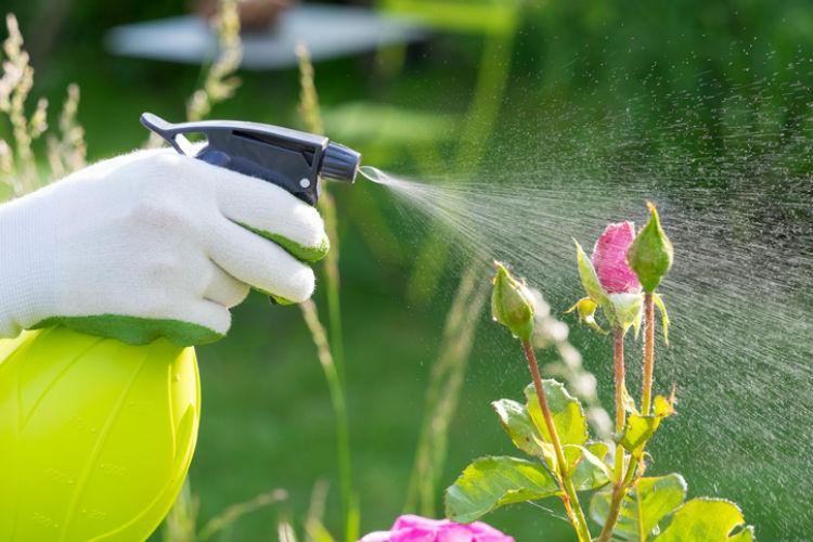 Rose im Garten wird besprüht