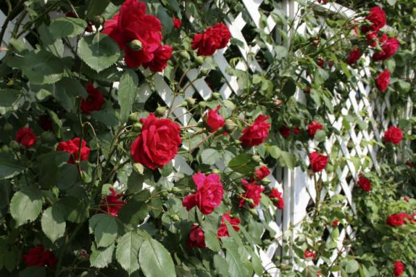 Rosenranken im Garten
