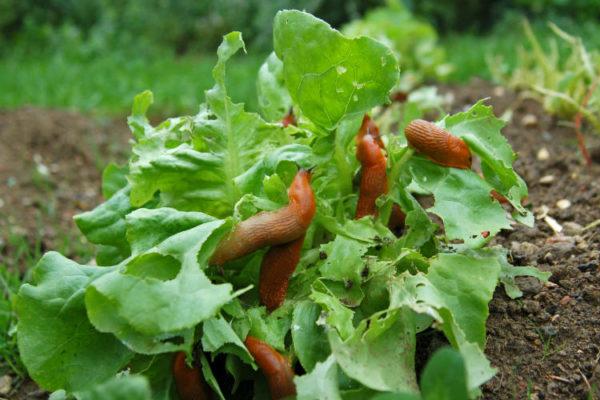 Hausmittel gegen Schnecken - Viele Schnecken auf Salatkopf