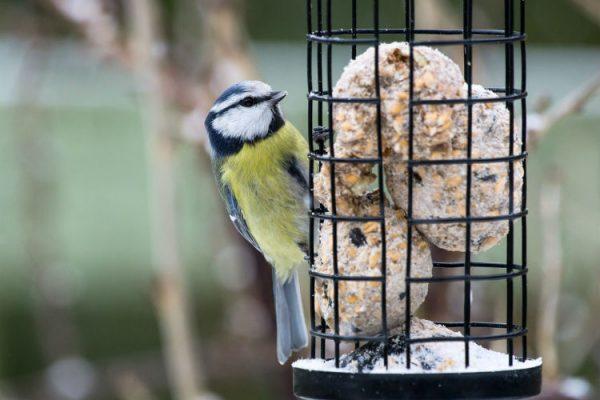 Vögel richtig füttern, eine Blaumeise sitzt an einem Vogelfutterspender