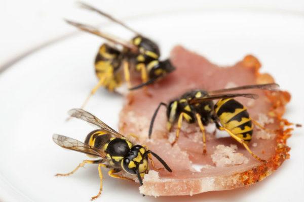 Wespen machen sich über Essensreste her