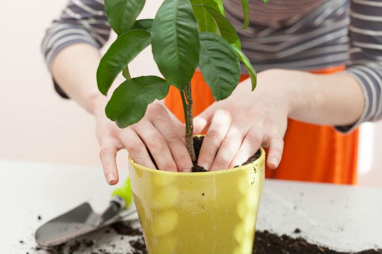 zimmerpflanzen richtig umtopfen die besten tipps wohnungs. Black Bedroom Furniture Sets. Home Design Ideas