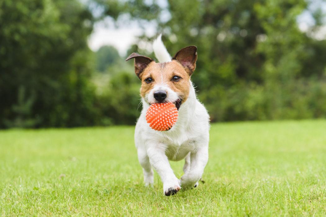 Jack Russel Terrier läuft mit Ball im Maul über eine Wiese