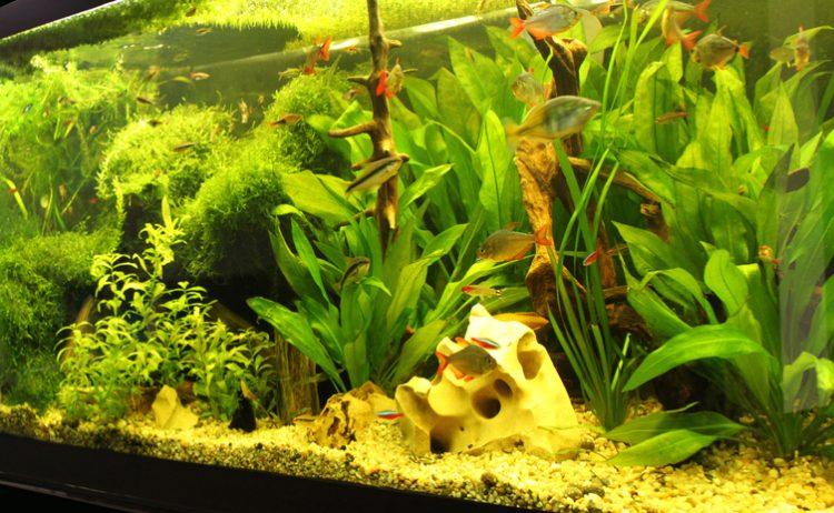 Ein bepflanztes Süßwasseraquarium mit tropischen Fischen