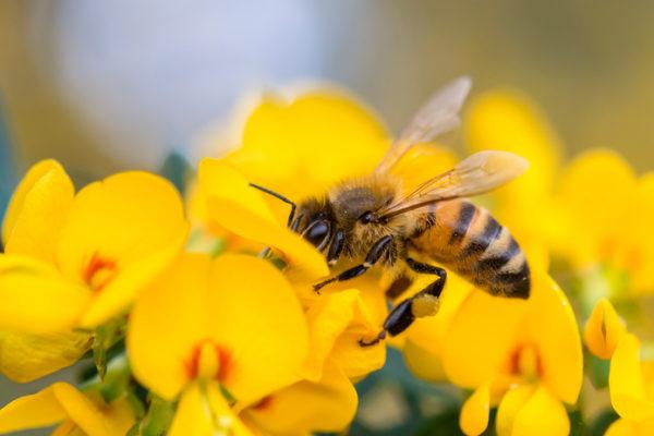 Biene sucht nach Nahrung in einer Blüte