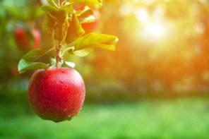 Einen Apfelbaum richtig pflanzen: So gelingt es Ihnen!