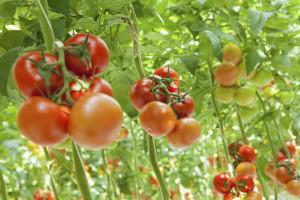 Tomaten in der Plantage